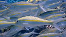 School Yellowstripe Goatfish Moving In Good Light