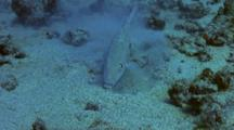 Single Goatfish Uses Barbels To Clear Sand, Hunt For Food