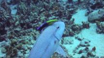 Single Goatfish W/Hawaiian Cleaner Wrasse All To Self