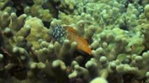 Shortbodied Blenny Sits On Coral, Ready To Run