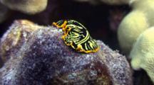 Tiger Flatworm Turns Around, Change Direction