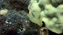 Gold Lace Nudibranch Moves Toward Camera