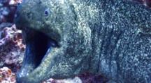 Huge Moray Eel Mouths Camera Aggressively