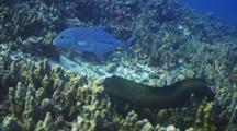 Blue Trevally And Whitemouth Moray Hunt Together