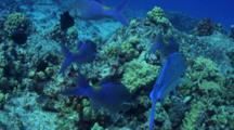 Blue Trvally And Blue Goatfish Hunt Together