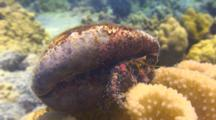 Bloody Hermit Crab In Cowry Shell