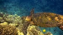 Hawksbill Turtle Looking Patrolling Pinnacle For Food