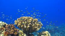Healthy Clump Cauliflower Coral, Many Fish Around