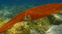 Very Curious Bigfin, Oval Squid Come To Camera
