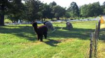 Group Alpaca Forage In Field,San Juan Island, Washington St.