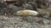 7 Wk Monk Seal Pup Lounging On Beach Of Birth