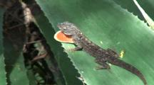 Male Brown Anole Repeatedly Displays Orange Dewlap