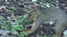 Very Determined Squirrel Buries Acorn For Later
