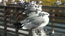 Gulls Lined Up On Rail Of Walkway
