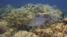 Blue Trevally Circles Close To Reef, Opens Mouth