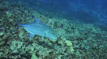 Blue Trevally Circles Close To Reef, Eats Something On Reef
