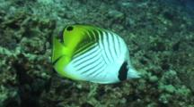 Threadfin Butterfly Nibbles On Coral