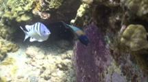Ser. Major Tries To Chase Off Saddle Wrasses Eating Eggs