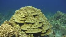 Camera Approaches Healthy Mound Brown Lobe Coral