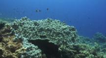 Camera Flies Over Healthy Mound Brown Lobe Coral
