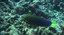 Yellowtail Wrasse Hunting And Feeding In Coral Rubble