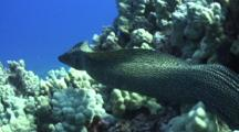 White Mouth Moray Eel Leaves Place In Coral, Swims Free To Reef