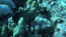 Diver Rubs, Scratches Willing White Mouth Moray Eel