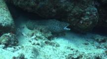 Camera Approaches Close To Head Of White Mouth Moray-Mouth Action