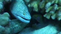 Two Different Species Moray Eel Sharing Same Space, Not Happily