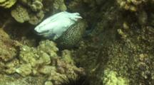 Undulated Moray Eel Feeding On Discarded Fish Carcass