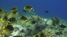 Close Up Scribbled Filefish With Other Reef Fish Feeding Fish Scraps