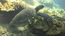 Green Sea Turtle Swims Slowly Towards Surface For Breath