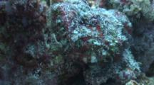 Camera Approaches Close To Head Of Devil Scorpionfish