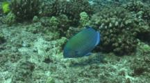 Palenose Parrotfish Nibbling On Coral