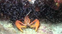 Bullseye Reef Lobster Reacts To Sea-Lice Attracted To Video Lights