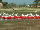 Scarlet Ibis, Egrets, Roseate Spoonbills, Morrocoy National Park, Venezuela