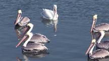 Brown Pelican (Pelecanus Occidentalis), American White Pelican (Pelecanus Erythrorhynchos), Awaiting Fish Scraps