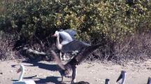Great Blue Heron (Ardea Herodias) Defending Fresh-Caught Crab From Pelicans