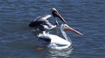 Brown And White Pelicans Scrambling For Fish Scraps, Good Color Comparison