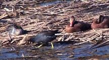 Purple Gallinule (Porphyrio Porphyrio)) Feeds Amongst Wintering Ducks