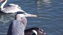 Great Blue Heron Watches Brown Pelicans Scramble For Scraps