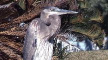 Great Blue Heron Enjoys Winter Sun