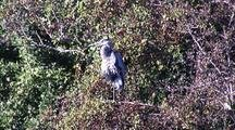 Great Blue Heron  Enjoys Winter Sun, Goes From Two To One Leg