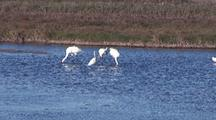 Whooping Cranes, Three Adults, One Juvenile, And Great Egret Wade And Feed