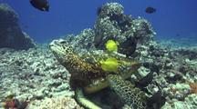 Green Sea Turtle  Cleaned By Surgeonfish-Behavior