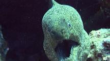 Large Yellow Margin Moray Eel Mouths Camera-Behavior