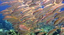 Camera Moves Through School Yellowfin Goatfish