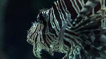 Close-Up - Lion Fish Hovers, Turns In Water Column