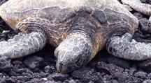 Pair Green Sea Turtles ( Chelonia Mydas) Resting On Rocky Beach