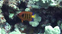 Flame Angel(Centropyge Loriculus)Emerges From Coral Then Returns
